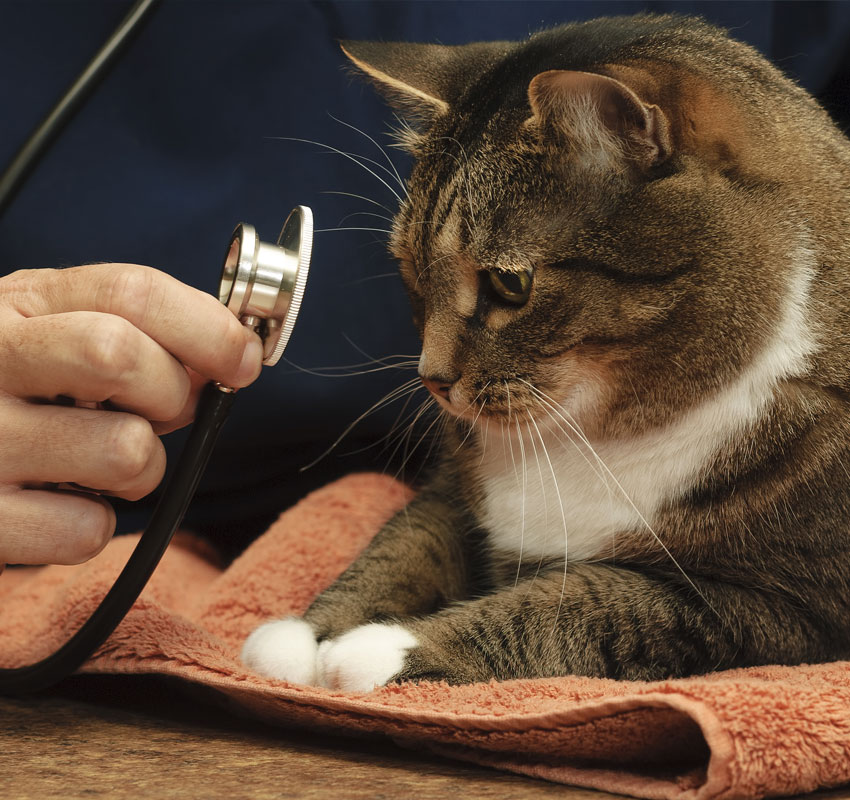 Veterinarian Examines a Large Tabby Cat